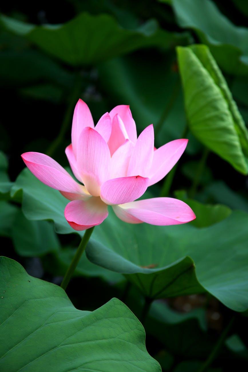 sacred lotus flower in green foliage